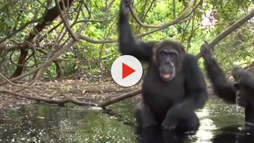 Chimpanzee Politics: Ousted tyrannical leader killed and cannibalized