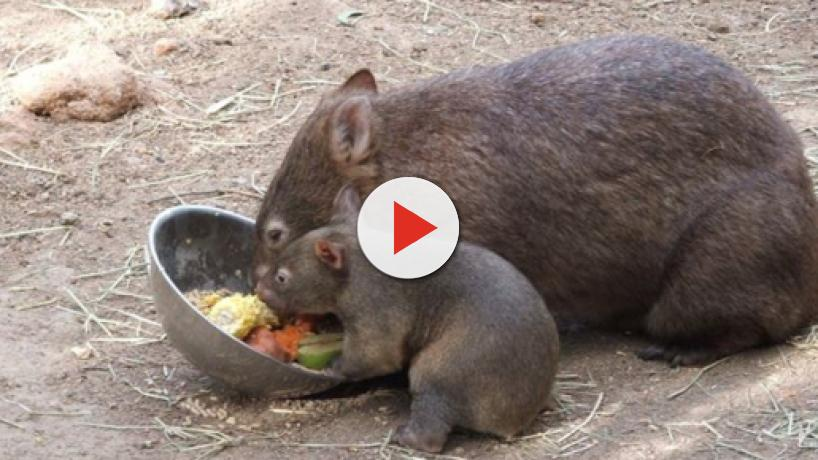 Cube-shaped wombat poop could change our lives, Patricia Yang's study reveals