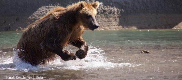 Bear attacks on the rise in Siberia - Image credit - Harald Deischinger | Flickr