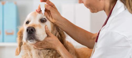 A conjuntivite canina é uma doença comum, mas os donos podem identificar os primeiros sinais do problema.