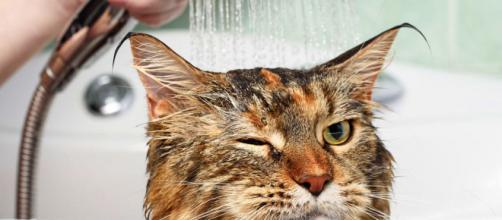 A higiene é importante para manter a saúde dos felinos.