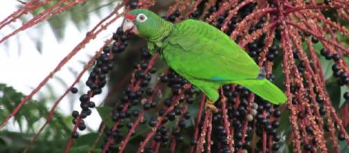 Efforts on to save Puerto Rican parrots. [Image source/Lincoln Park Zoo YouTube video]