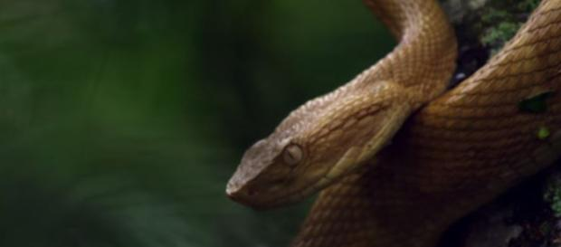 Brazil's deadly island golden lancehead snakes - Nat Geo WILD | YouTube