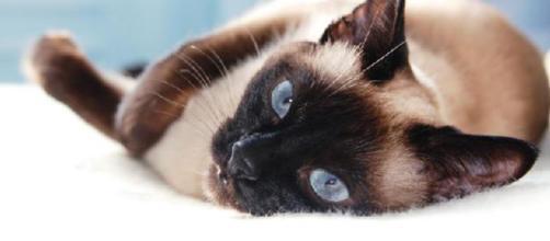 O gato siamês é mais propenso a contrair asma, graças a sua herança genética.