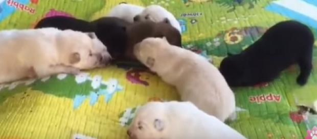 Pungsan puppies are a breed of hunting dog from North Korea. [Image source/Free Korean Dogs YouTube video]
