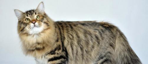 O gato siberiano é um dos mais populares no Brasil.