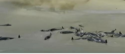 Over 140 whales die after being stranded on New Zealand beach. [Image source/Guardian News YouTube video]