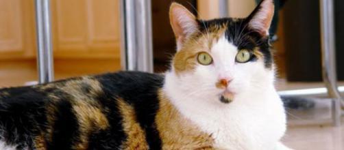 A pelagem tricolor é vista como rara nos felinos sem raça definida.(foto reprodução).