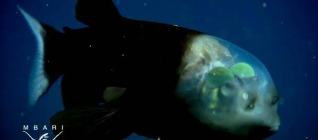 Macropinna microstoma: A deep-sea fish with a transparent head Image - MBARI via National Geographic | YouTube