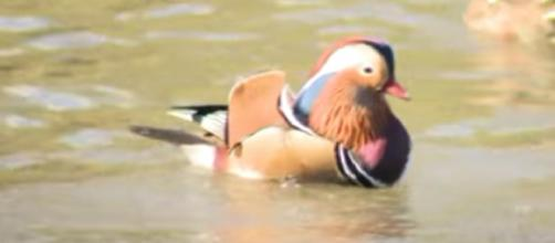 The multicolored Mandarin duck in New York Central Park [Image courtesy – PIX11 News YouTube video]