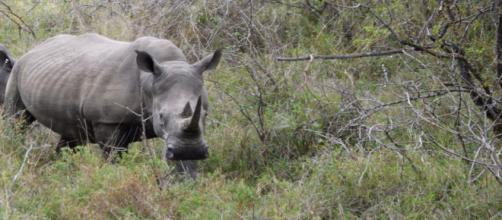 Rhinos are endangered and facing extinction - Image credit - Jane Flowers | Own Work