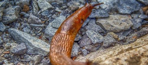 Slug kills young man in Australia after he ate it - image credit - Analogicus | Pixabay