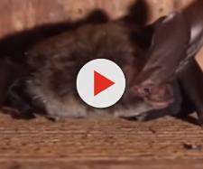 Man dies of Rabies in Utah, may have been bitten by a bat - Image credit - Free School | YouTube