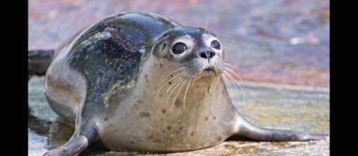 A seal looking cute. - [Tambako the Jaguar / Flickr]