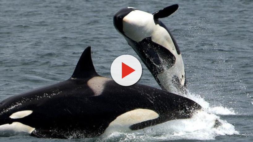 New Zealand: Dylan Brayshaw captures footage of woman swimming with orcas [Video]