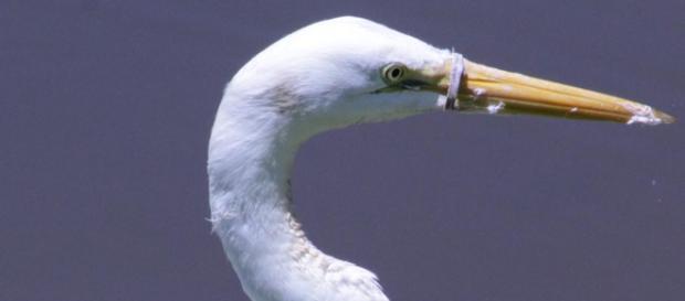 Objeto de plástico impedia a ave de se alimentar (Crédito: Arquivo Pessoal/Gledson Barros)