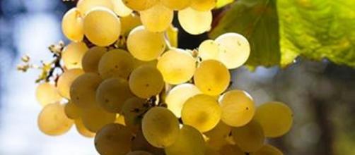 Il succo di uva bianca avrebbe un effetto anti grasso viscerale.