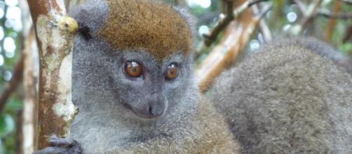 Les diverses espèces de lémuriens à Madagascar