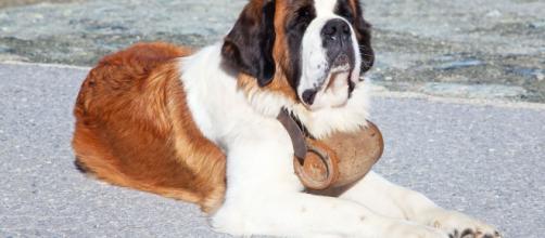 10 razas de perro de talla grande - Hogarmania - hogarmania.com