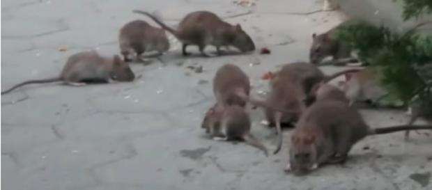 Exploring New York's rattiest park with a rodentologist. [Image source/Motherboard YouTube video]