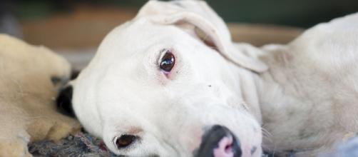 La Erliquiosis Canina y la Anaplasmosis: enfermedades silenciosas ... - gob.ve