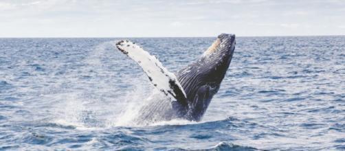 Con la salida de Japón se podrá crear un santuario de ballenas