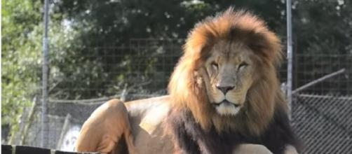 One of the lions of the Conservators Center. [Image source/ Conservators Center YouTube video]