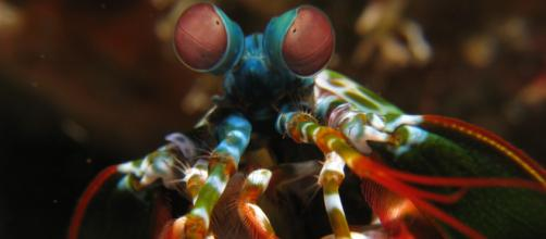 The Mantis shrimp , though it lives in the sea, bares a striking resemblance to a praying mantis. [image source: prilfsh/Wikimedia Commons ]