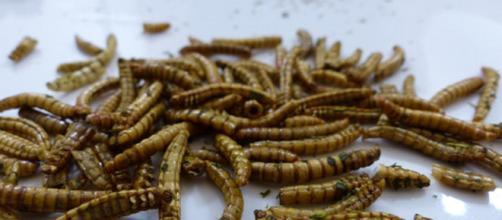 I giovani italiani sono molto interessati alla cucina a base di insetti e aracnidi - (Canva)