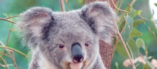 El koala es un mamífero marsupial nativo de Australia