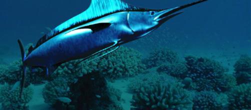 El pez espada puede llegar a vivir unos 15 años si el habitat y los alimentos son los adecuados
