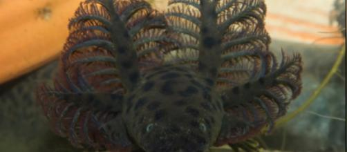 Scientists find giant leopard-spotted salamander in Florida. [Image source/Wochit News YouTube video]