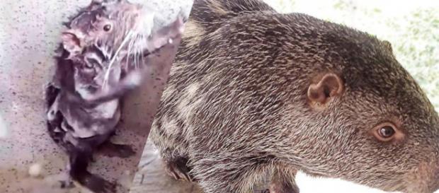Pacarana, um roedor típico no Peru