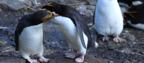 Torquay Zoo has too many interfering bachelor penguins, so they are being moved out. [Image credit: liam quinn CC BY-SA 2.0]