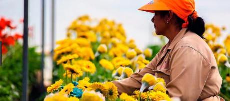 Colombia exporta 500 millones de flores de 1.600 variedades a EEUU en febrero.