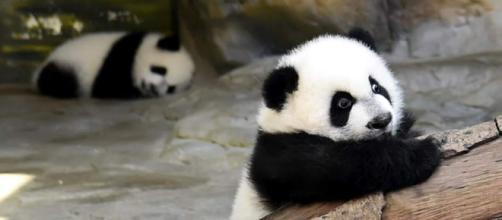 Los primeros trillizos de panda gigante.