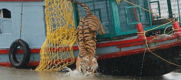 Tigre amenaza a aldeanos tras matar a pescadores en La India.