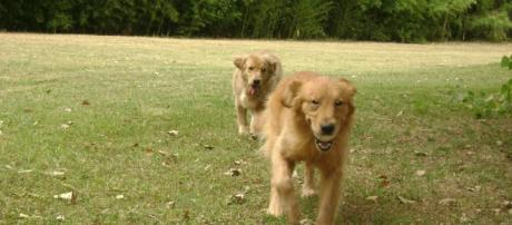 Golden Retriever El perfecto perro de terapia - Mascotas - Taringa! - taringa.net