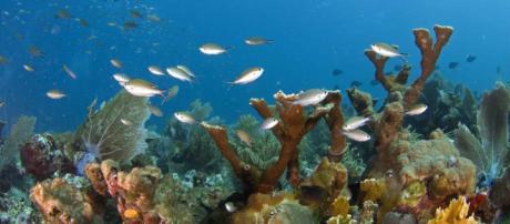 Trasplante de coral podría salvar a La Gran Barrera de Arrecifes.