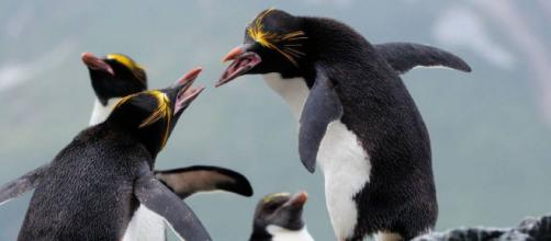 El amor en San Valentín está en el aire para los Pingüinos Macaroni