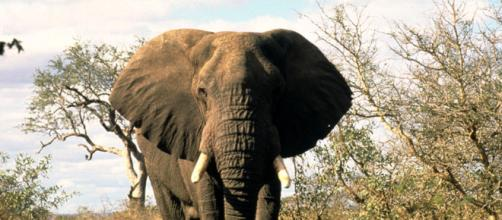 Species Spotlight: African Elephant | Pages | WWF - worldwildlife.org
