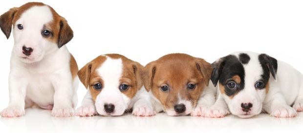 Eliminar la crianza de cachorro para venta