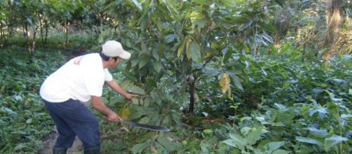 Plantación de cacao blanco en México