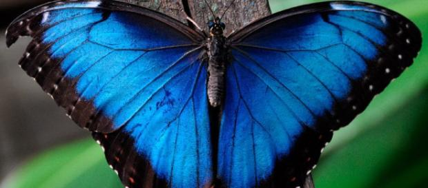 Mariposa azul: Características, significado, peligro de extinción ... - hablemosdeinsectos.com