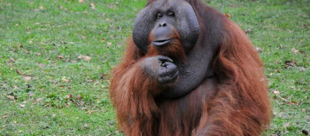 Pongo es un género de primates haplorrinos de la familia Hominidae más conocidos como orangutanes.
