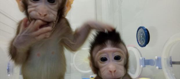 Ya nacieron nuestros primos Zhong Zhong y Hua Hua, dos monos.