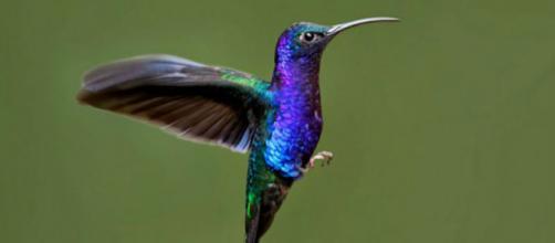 Con bellos colores y una capacidad de volar peculiar, el colibrí está lleno de curiosidades