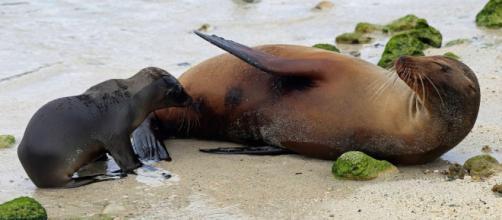 Diferencias entre focas y leones marinos - focaswiki.com