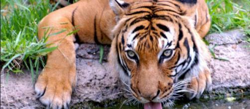Los tigres son una especie en extinción desde hace años, quedando menos de cuatro mil ejemplares