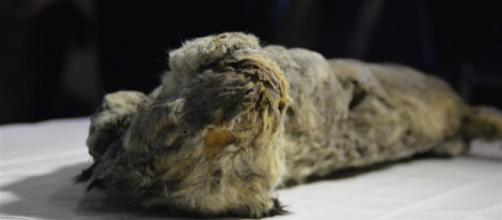 Pequeño cachorro de león de las cavernas encontrado en el hielo en septiembre de 2017